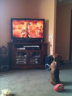 A este perro le ha dado por imitar a los suricatos, unos pequeños mamíferos con una forma muy peculiar de ponerse de pie.