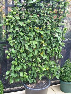 espalier lemon tree - you could potentially screen your outdoor bath ensuite with espalier lemon???