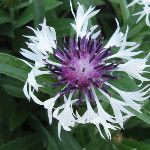 Centaurea montana 'Amethyst in Snow' - this one stops traffic on my busy corner via @Kathy Chan Jentz