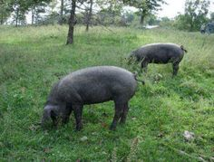 Large Blacks. They are a true grazing hog that won't root up the pasture. They are also gentle and docile.