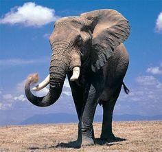 Słoń afrykański (Loxodonta africana)