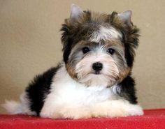 Biewer Yorkshire Terrier (Parti Yorkie)!!