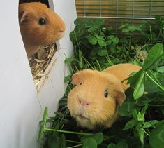 Well, I guess the guinea pigs can go outside whenever they want to