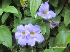 arbustosensevilla-encinarosa: Bignonia azul / thumbergia grandiflora / Parra rel...