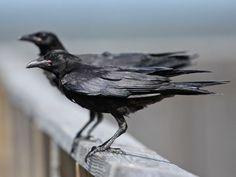 Juvenile Fish Crows (Corvus ossifragus), South Carolina.