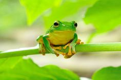 another cute tree frog
