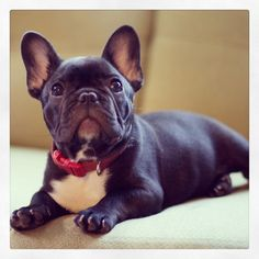 Reveries French Bulldog.