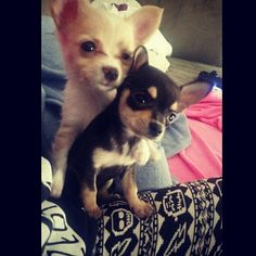 Chihuahua brothers