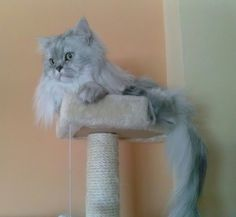 My #persian #cat #Romeo (16 months) in her #scratchingpost . #persiancats #catbreed #longhaircats #chinchillacats #gattipersiani