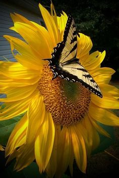 Butterfly Visiting a Sunflower by Rebecca Haas