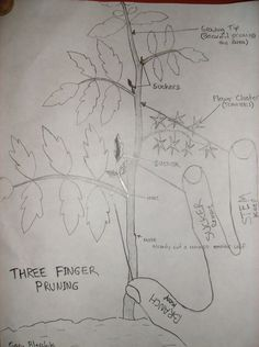 Three Finger Method To Pruning Tomato Plant Suckers - http://www.ecosnippets.com/gardening/three-finger-method-to-pruning-tomato-plant-suckers/