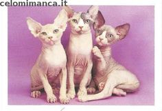 Puppy e Kitty: Fronte Figurina n. 42 Sphynx