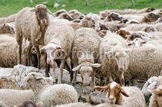 Pecore al pascolo a Castelluccio di Norcia (Umbria Italy) - Sheep grazing © Pietro D'Antonio