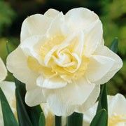 Narcissus 'White Lion' (Daffodil 'White Lion') Click image to learn more, add to your lists and get care advice reminders each month.