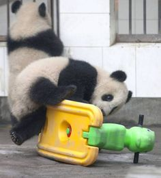 This panda was determined to get back on the horse – even if it's green and plastic.