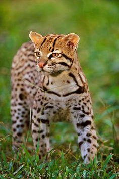 Ocelot, Leopardus pardalis, Pantanal, Brazil | Frans Lanting Photoshelter