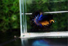 First Blue Mustard Gas betta fish in the world - Nice Betta Thailand.CO.,LTD Yellow Fish, Fish For Sale, Blue Chocolate, Siamese Fighting Fish, Green Bodies, Fish Farming, Colorful Fish, Betta Fish, Fresh Water