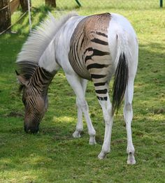 A Zorse (horse x zebra) - love it (though part of me wonders if this is photoshopped or real - anyone know for certain?)