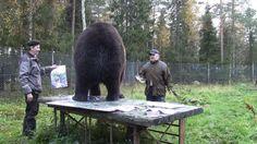 Kuvagalleria: Yli 10-vuotias karhunjytkäle Juuso on innostunut taiteen tekemisestä Kuusamon suurpetokeskuksessa.