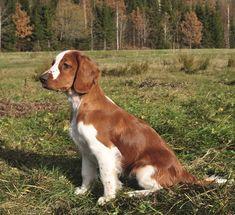 Welsh Springer Spaniel.