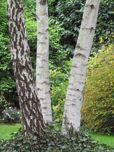 bouleau = 2 Betula Pendula, Baumgarten, Garden Trees, Shrubs, Nature, Plants, Midi, Aspen, Gardening