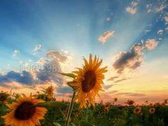Nature Vast Sunflower Field Landscape iPhone s wallpaper Happy Flowers, Beautiful Flowers, Sun Flowers, Summer Flowers, Sunflowers And Daisies, Wildflowers, Sunflower Pictures, Sunflower Quotes, Sunflower Wallpaper