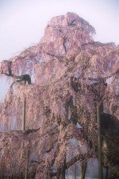 三春町・滝桜 / Cherry tree named the waterfall by u_ran2008, via Flickr South Korea North Korea, Japan Sakura, Japan Garden, Kyushu, Fukushima, Fantasy Inspiration, Hiroshima, Okinawa, Osaka