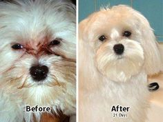 How to Remove Tear Stains From Your Dog (Naturally) PETS