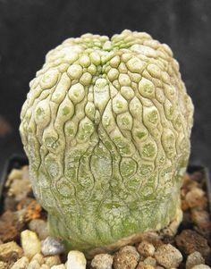 Pseudolithos migiurtinus. in Ezhappy´s collection.June 2011.   Flickr - Photo Sharing!