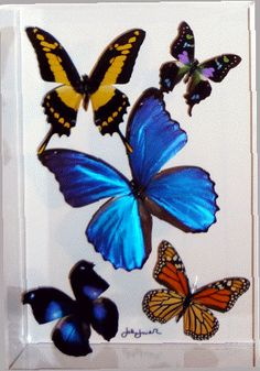 butterfly displayreal butterflies mounted in an acrylic
