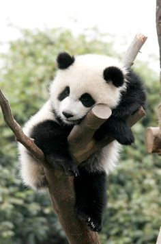 a cute baby panda