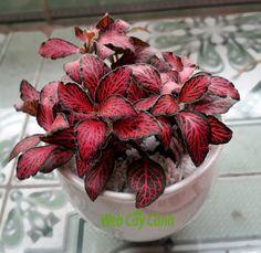 Cẩm nhung Fittonia trắng, đỏ, hồng giá 80k