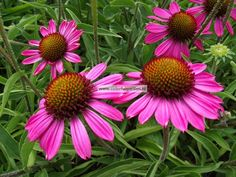 Echinacea purpurea 'Rozenrad' (zonnehoed)  Een prachtige vaste plant met roze bloemen. Door de krachtige uitstraling blijft de Zonnehoed in een border zeker goed tot uiting komen. Ook geschikt voor in een grote pot en als snijbloem te gebruiken.