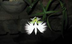 """As flores da orquídea Habenaria radiata parecem sempre prestes a alçar vôo! A espécie cresce nos solos japoneses, coreanos e chineses; e não é difícil perceber porque recebe o nome de flor """"garça branca""""."""