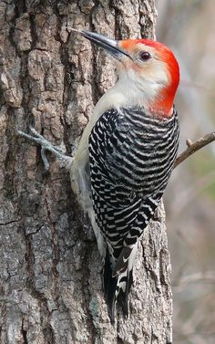 Grey-breasted Woodpecker - tecoch