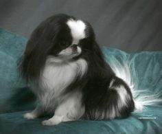 Japanese Chin (black and white) pup