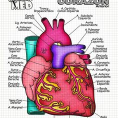 Cardiac Anatomy, Medical Anatomy, Human Anatomy And Physiology, School Notes, Med School, Medicine Quotes, Medical Laboratory Science, Medicine Student, Medical Terminology