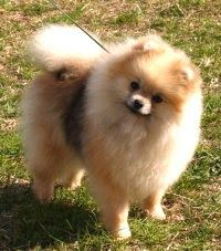Authoritatively no different types of Pomeranian or different breeds of Pomeranian exist. There is just one Pom. Different types of pomeranians pictures. Teddy Bear Pomeranian, Teacup Pomeranian, Pomeranian Dogs, Pomeranian Hairstyles, Miniature Pomeranian, German Spitz, Natural Dog Food, Small Dogs, Puppy Love