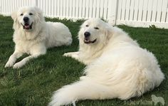 Why Do You Love Great Pyrenees - It's Dog or Nothing