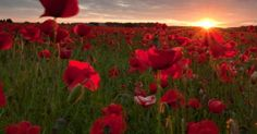 Poppy Field   photo by carl mick | All things Red! | Pinterest | Poppy Fields, Poppies and Fields