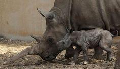 White Rhino Baby. © reuters