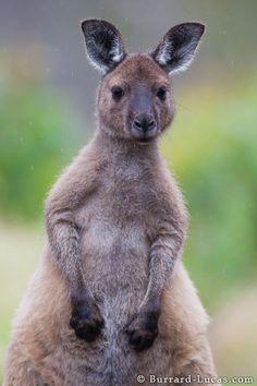 Such a cute Kangaroo!