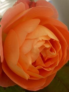 Роза David Austin🌹