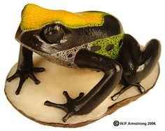 Tree frog carved from a tagua nut (Phytelephas aequatorialis) in Panamá.