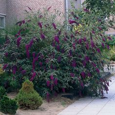 Black Knight Butterfly Bush; Buddleia davidii 'Black Knight' Butterflies & hummingbirds Fragrant Blooms: Spring until late Fall H: 4-6 ft, W: 4-6 ft, Spacing: 5 ft.