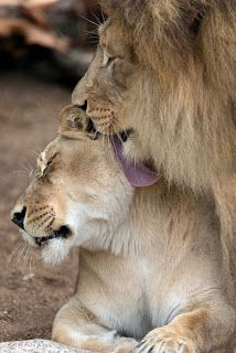 GraceUponGrace Outreach: Tuesday Message. Lion Images, Lion Pictures, Animal Pictures, Daily Pictures, Lion Kingdom, Animal Kingdom, Big Cats, Cute Cats, Cats And Kittens