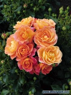 I have created a few lovely roses this week and I want to color them like these real life roses. Love these colors