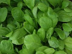Growing mustards is something that may be unfamiliar to many gardeners, but this spicy green is quick and easy to grow. Planting mustard greens in your garden will help you add a healthy and tasty food to your vegetable garden harvest. Growing Mustards: How To Plant and Grow Mustard Greens