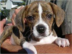 Cute Boglen Terrier Boston Beagle
