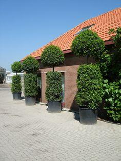 9 best bay trees images landscaping bay trees laurus nobilis rh pinterest com